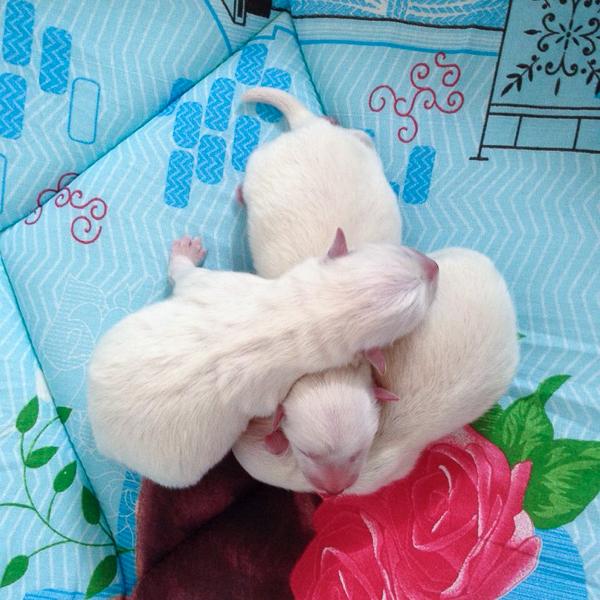 щенки японского шипица фото